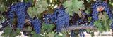 USA, California, Napa Valley, Grapes Lámina fotográfica