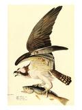 Osprey Prints by John James Audubon