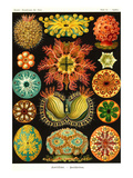 Ascidiae Posters by Ernst Haeckel