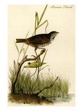 Brown Finch Prints by John James Audubon