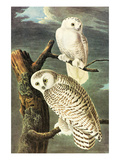 Snowy Owl Prints by John James Audubon