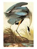 Great Blue Heron Kunst af John James Audubon