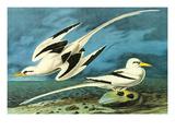 White-Tailed Tropic Bird Prints by John James Audubon
