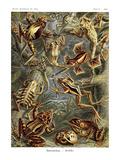 Frøer Poster af Ernst Haeckel