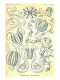 Ctenophorae Poster by Ernst Haeckel