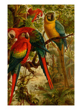 Macaws Print by F.W. Kuhnert