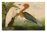 Reddish Egret Art by John James Audubon