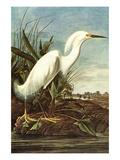 Snowy Egret Arte por John James Audubon