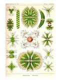 Amoebas Prints by Ernst Haeckel