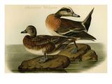 American Widgeon Art by John James Audubon