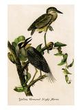 Yellow Crowned Night Heron Prints by John James Audubon