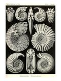 Ammonites Poster von Ernst Haeckel