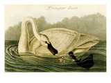 Trumpeter Swan Prints by John James Audubon