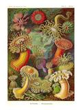 Actiniae Kunst von Ernst Haeckel
