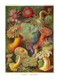 Actiniae Posters by Ernst Haeckel