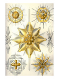Acanthometra Posters by Ernst Haeckel