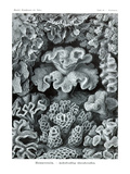 Corals Kunstdrucke von Ernst Haeckel