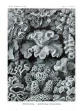 Corals Láminas por Ernst Haeckel