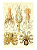 Cephlopods Plakat af Ernst Haeckel