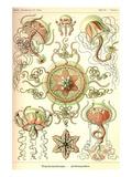 Trachomedusae - Jellyfish Poster von Ernst Haeckel