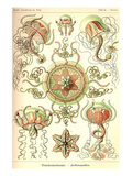 Trachomedusae - Jellyfish Prints by Ernst Haeckel