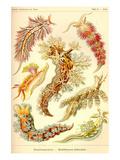 Nudibranch Gastropod Mollusks Poster by Ernst Haeckel