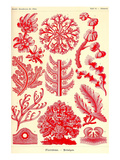 Floridae Poster af Ernst Haeckel