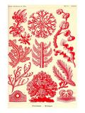 Floridae Prints by Ernst Haeckel