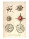 Dorataspis Costata, Haliomma, H.Capillaceum, H. Erinaceus, Actinomma Asteracanthion Prints by Ernst Haeckel