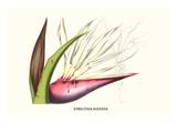 Bird of Paradise Flower Poster von Louis Van Houtte
