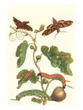 Fig Tree with Fig Sphinx Premium-giclée-vedos tekijänä Maria Sibylla Merian