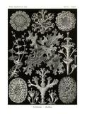 Lichens Posters by Ernst Haeckel