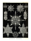 Acanthophracta Art by Ernst Haeckel