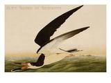 Black Skimmer or Shearwater Prints by John James Audubon