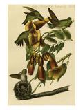 Ruby Throated Humming Bird Print by John James Audubon