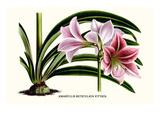 Amaryllis Reticulata Vittata Kunstdrucke von Louis Van Houtte