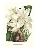 Crinum Giganteum - Medicinal Poster von Louis Van Houtte
