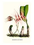 Orchidee (Kleinformat) Kunstdruck von Louis Van Houtte