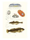 Medusa Jellyfish, Acorn Barnacle, Sea Slug, Spotted Goby Kunst af James Sowerby