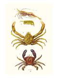 Spider Crab, Sand Skipper, Prawn, Velvet Swimming Crab Plakat af James Sowerby