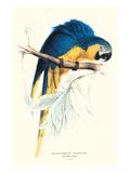 Hyacinthine Macaw - Hyacinthine Anodorhynchus Leari Kunstdruck von Edward Lear