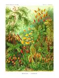 Muscinae Posters by Ernst Haeckel