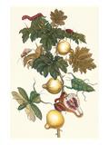 Nipple Fruit with a Leaf Mantus Premium-giclée-vedos tekijänä Maria Sibylla Merian