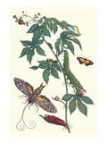Bellyache Bush with a Giant Sphinx Moth and a Metalmark Butterfly Poster tekijänä Maria Sibylla Merian