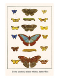 Costa Spotted, Mimic Whites, Butterflies Prints by Albertus Seba