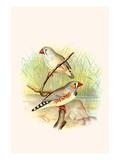 Zebra Finch Posters by F.w. Frohawk