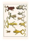 Frogs Print by Albertus Seba