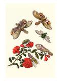 Sundown Cicada and a Peanut-Headed Lantern Fly Premium-giclée-vedos tekijänä Maria Sibylla Merian