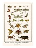 Dragonflies, Grasshopper, Crustacean, Hawk Moths, Stag Beetles, Hercules Beetles, Posters af Albertus Seba
