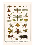 Dragonflies, Grasshopper, Crustacean, Hawk Moths, Stag Beetles, Hercules Beetles, Art by Albertus Seba